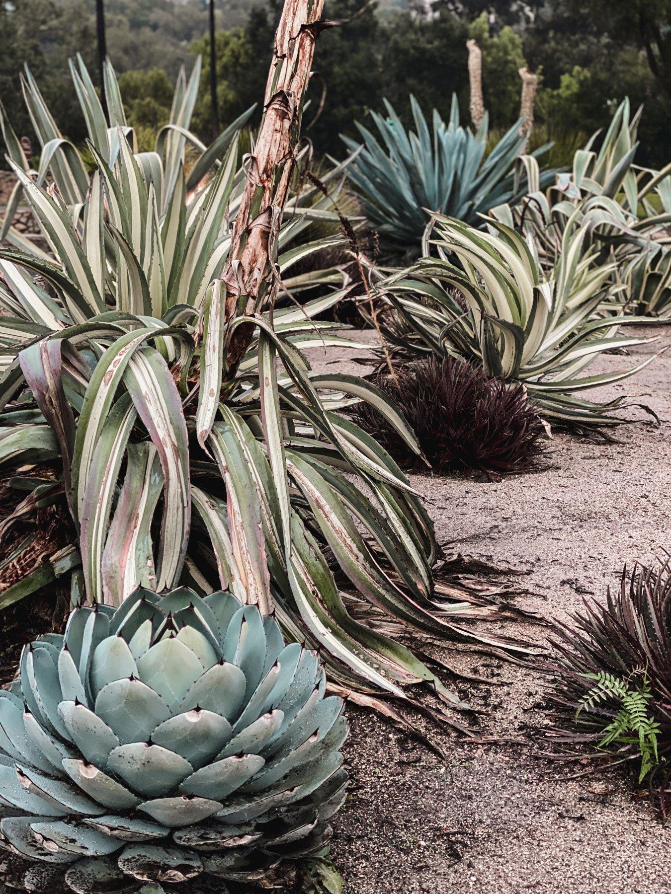 Cacti garden at Old Mission Santa Barbara