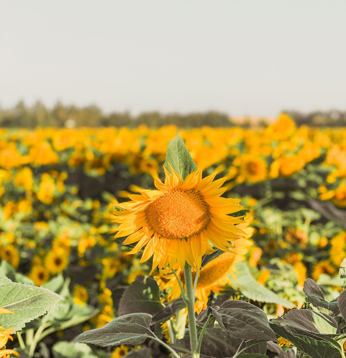 Sunflower fields in Yolo County