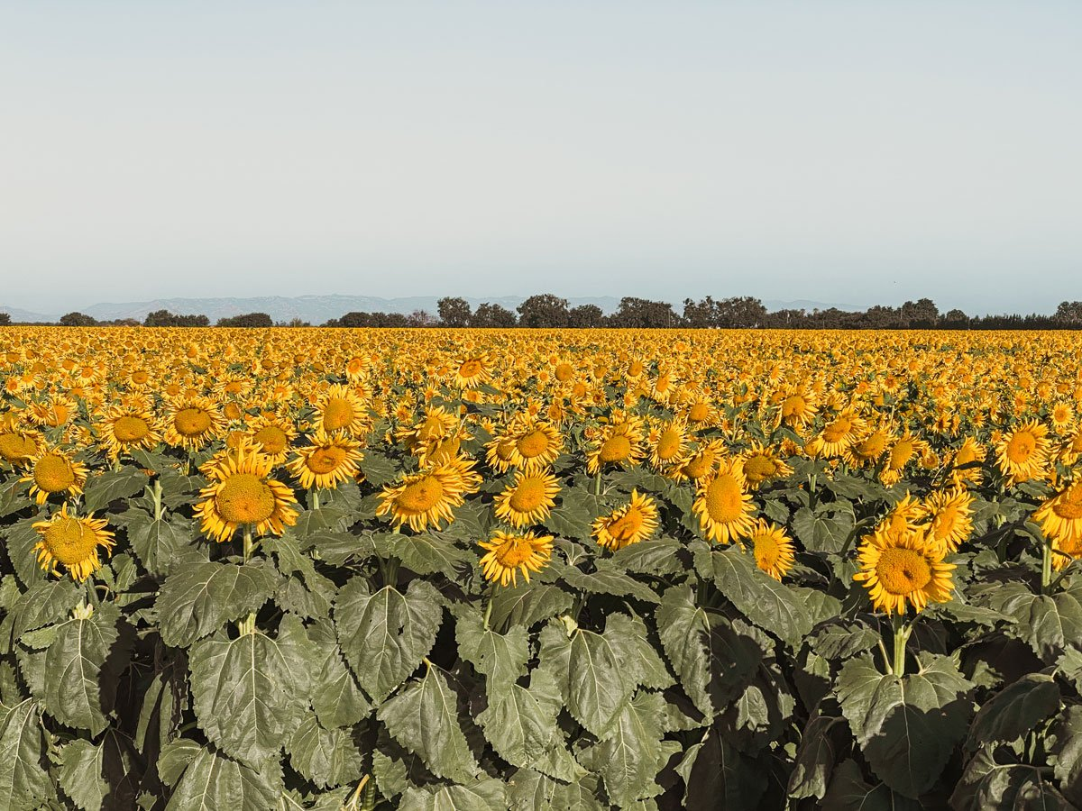 Dixon Sunflower fields