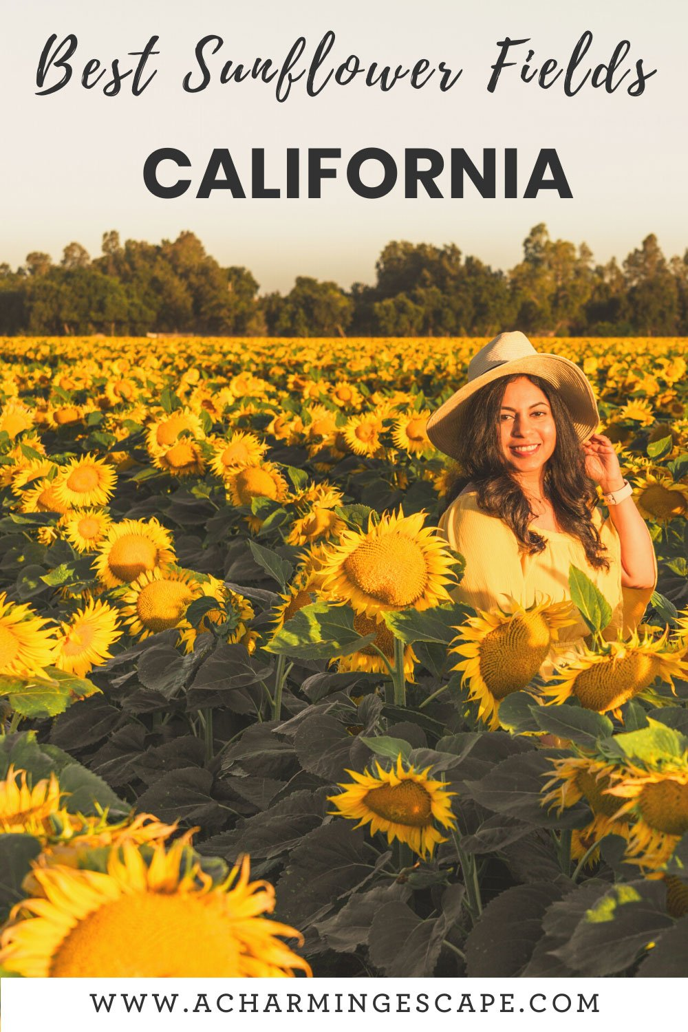 Best sunflower fields in SF Bay Area and Northern California