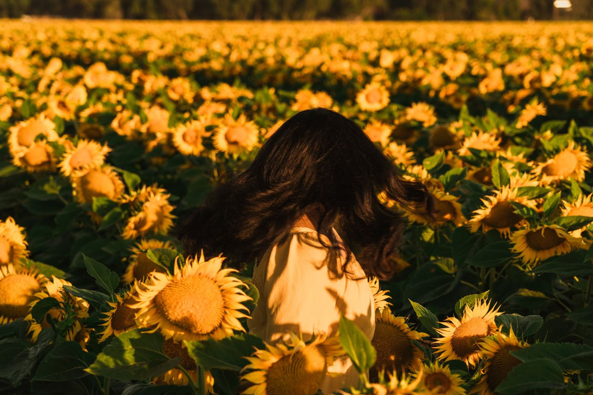 Gorgeous sunflower fields Yolo County