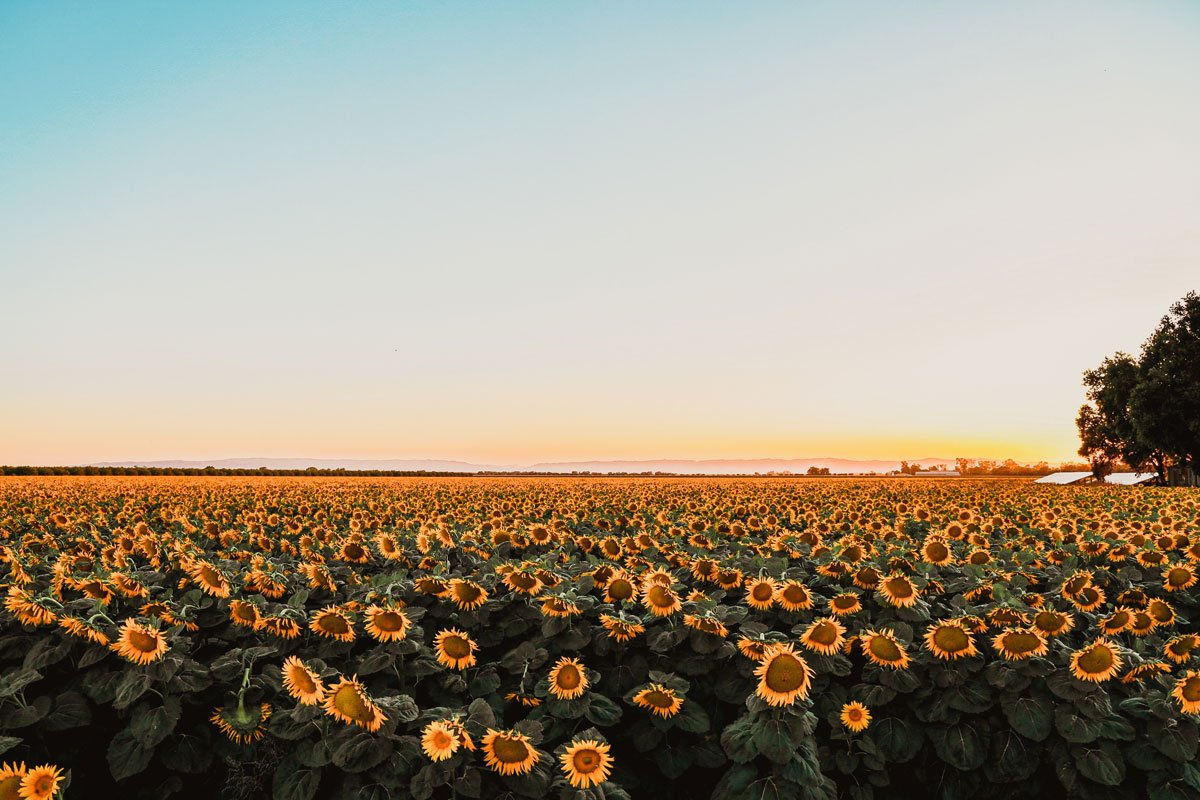 Sunflower fields in Northern California