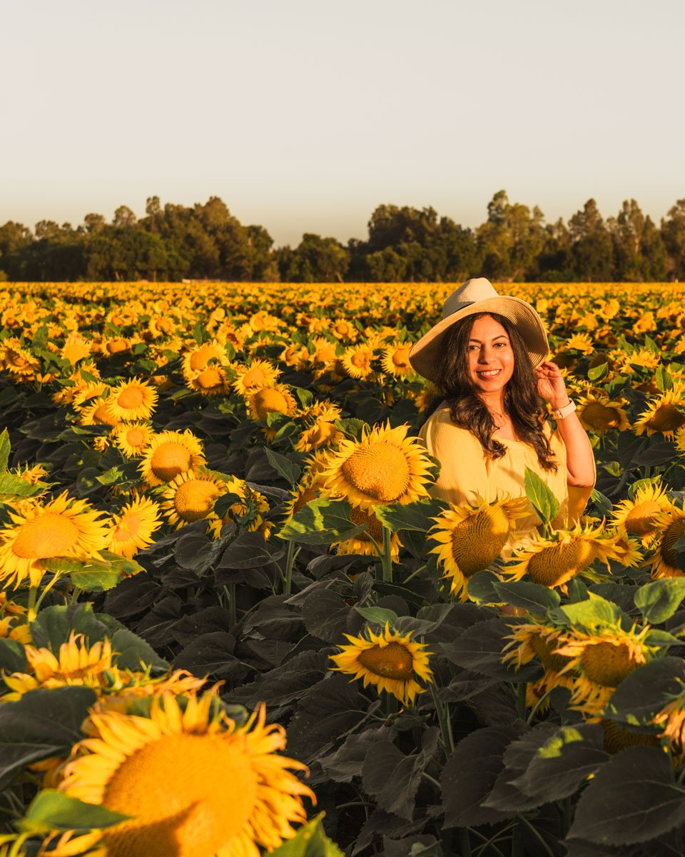 Yolo County California sunflower fields