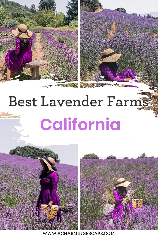 11 best lavender farms in California