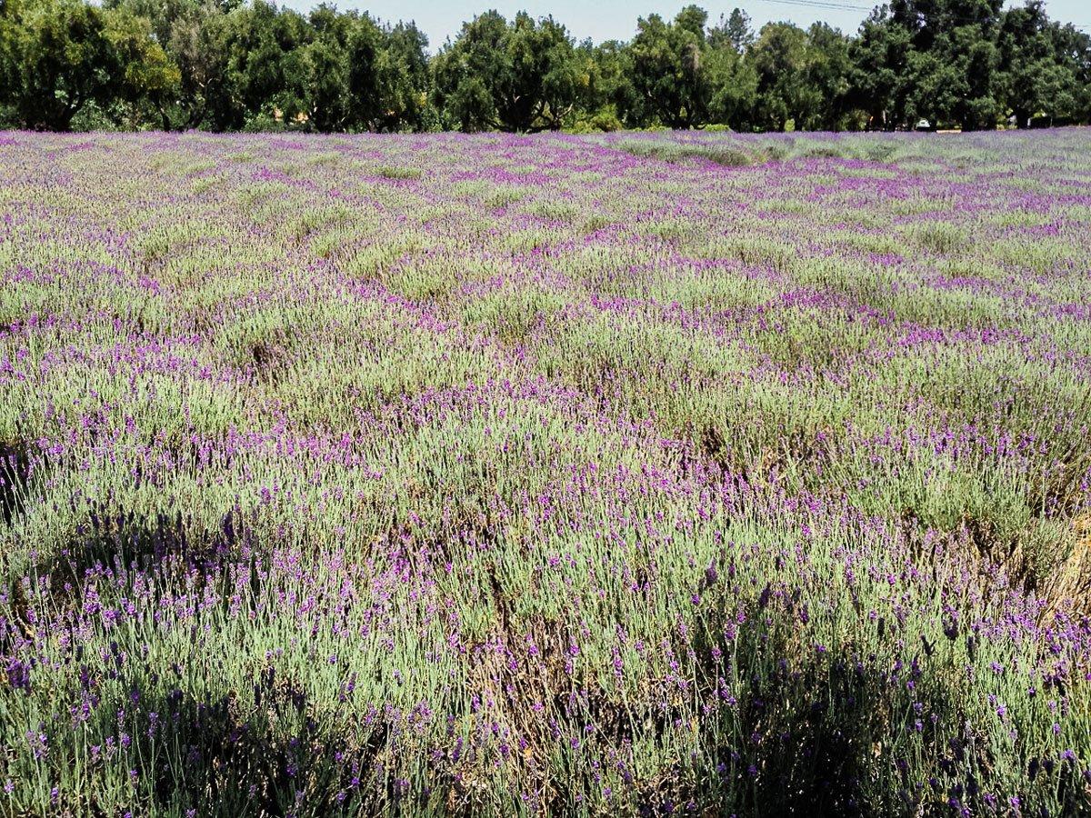 Clairmont lavender farm, Los Olivos, California