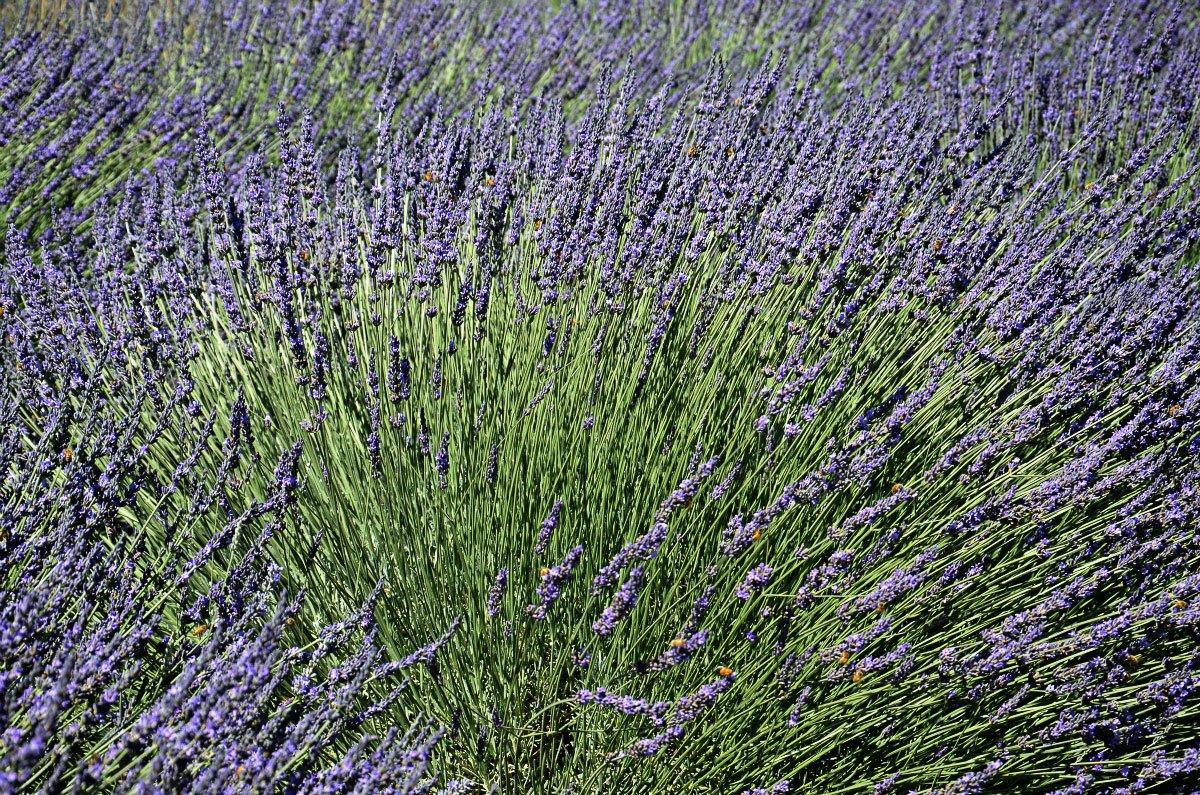 Keys Creek lavender farm, California