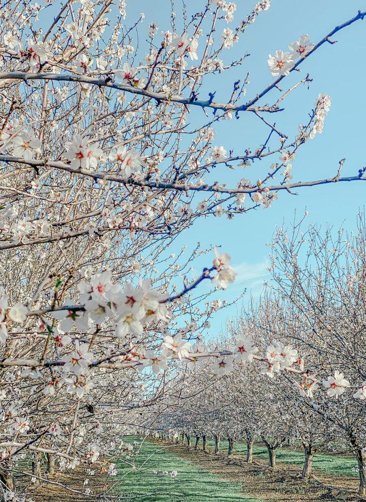 Almond blossoms, California