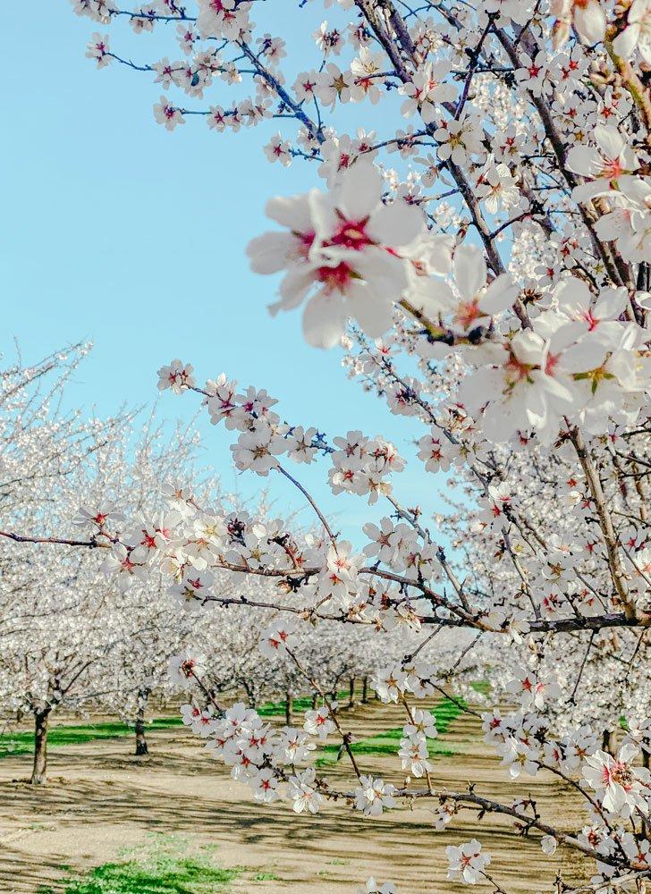 Almond blossoms in Winters, California