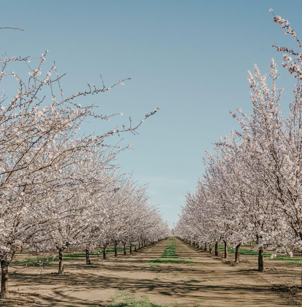 Almond blossoms Winters, California