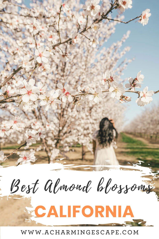 Almond blossoms in California