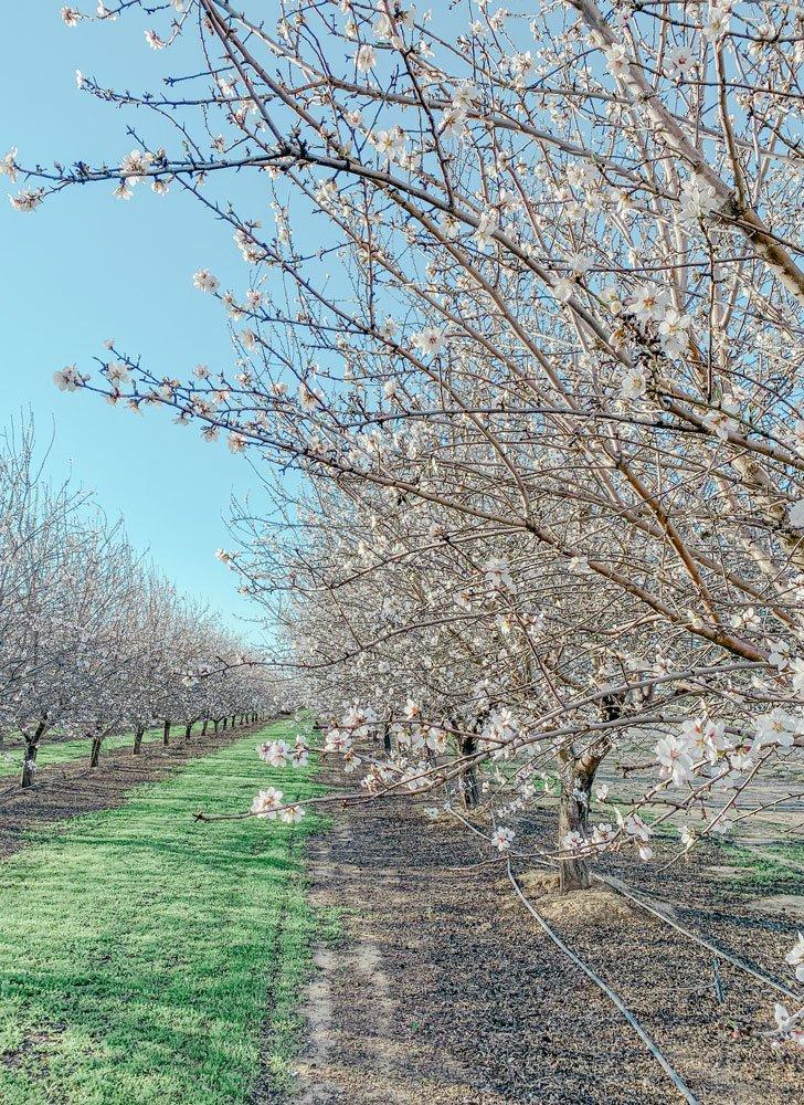Almond trees in full bloom, California