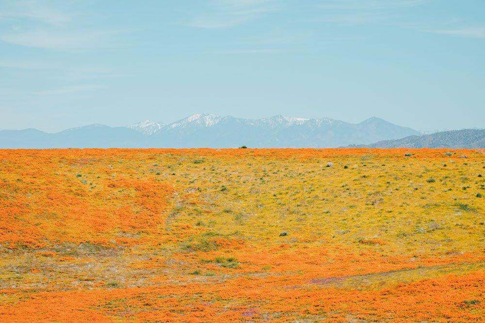 Orange Poppy superbloom at Antelope Valley Poppy Reserve