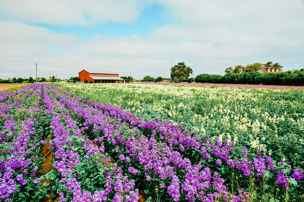 Purple and yellow flower fields, Lompoc