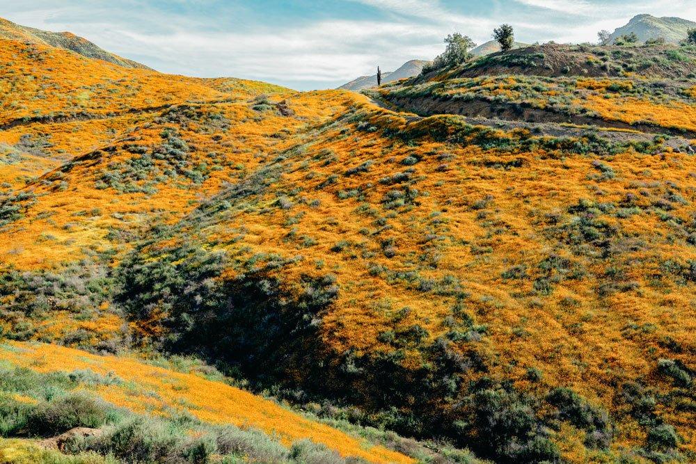 Superbloom of orange wild poppies at Walker Canyon, Lake Elsinore