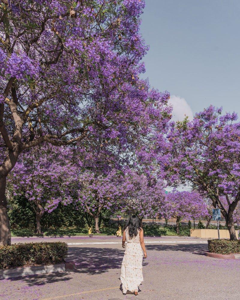 Woman standing in Purple Jacarandas in San Jose