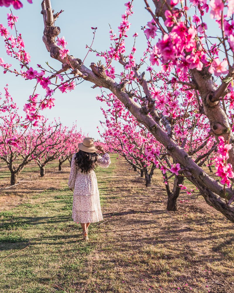 Woman with hat in pink peach orchards