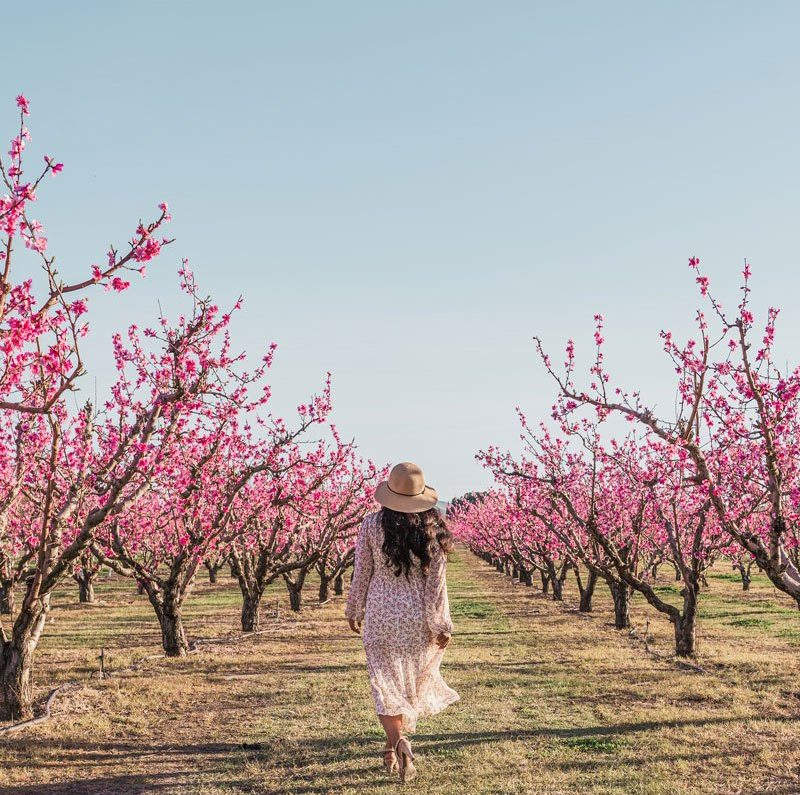Woman walking in pink peach orchards