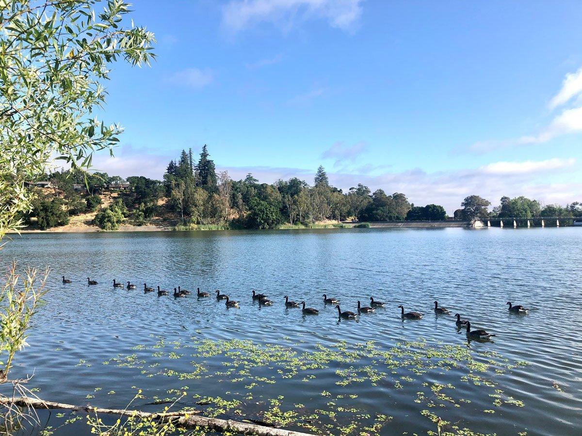 Geese at Vasona Lake, Los Gatos